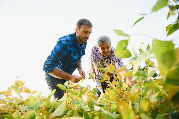 Два фермера сидят на корточках на поле сои и проверяют качество растений