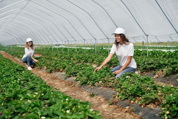2人の女性フィールドワーカーがイチゴを収穫しています