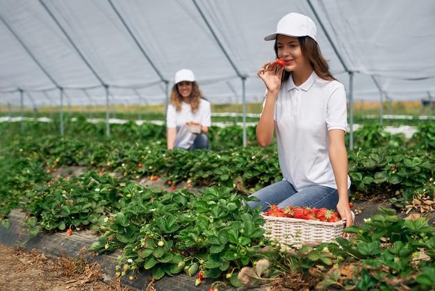두 여성 현장 근로자가 딸기 따기