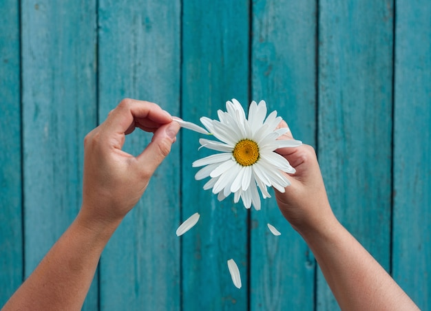 Two female hands hold in hand big white daisy petals and tear