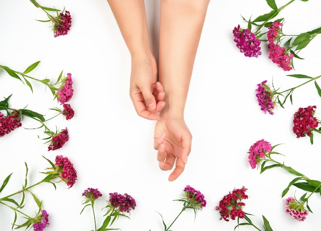 Two female hands with light smooth skin and buds of a blossoming turkish carnation on a white background