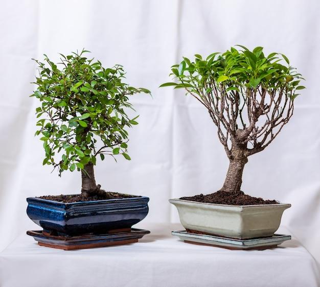 2つのイチジク盆栽朝鮮人参レタス植物のポット