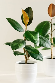 Two ficus elastic plant rubber tree in white ceramic flower pots.