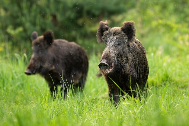Two fierce wild boars standing together in wilderness