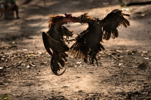Two fighter cock in the nature arena fighting.