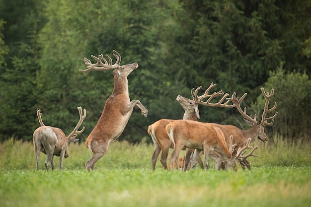 Two fighting red deer stags standing on back legs with antlers in velvet.