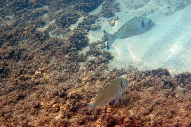 Две рыбы дорадо плавают в море под водой.