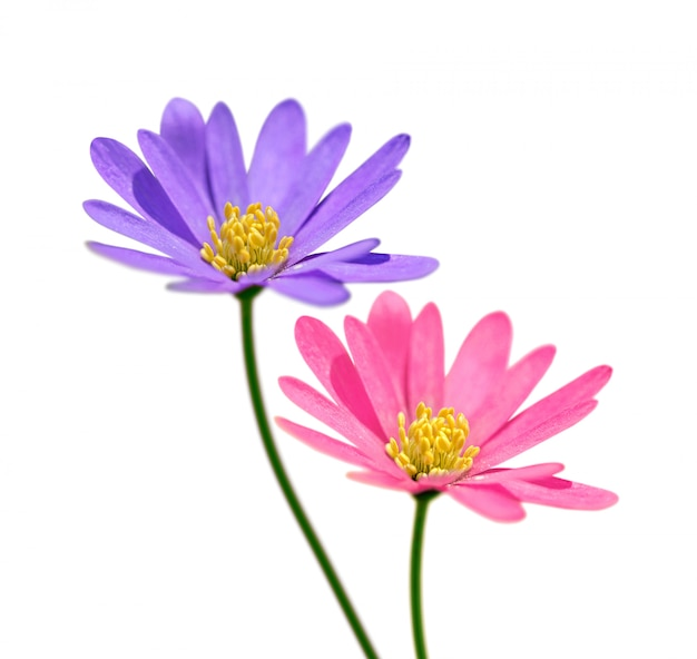 Two flowers isolated on white background