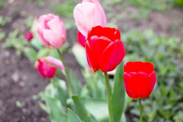春の庭に咲くピンクと赤のチューリップの2つの花。