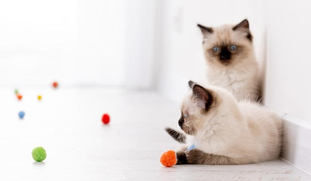 Two fluffy ragdoll kittens on the floor together with colorful balls. portrait of american breed feline kitty pets with toys at home. beautiful little purebred domestic cats indoors in white room