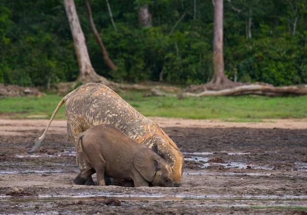 2頭のマルミミゾウが水源から水を飲んでいます