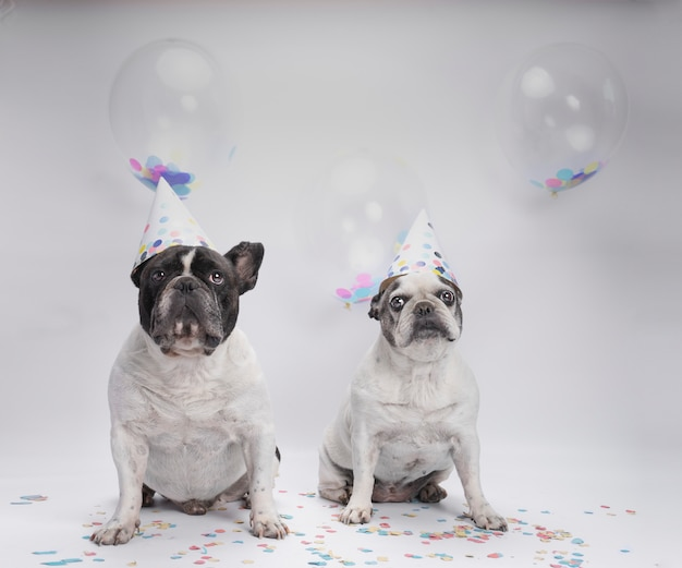 Two french bulldog celebrating birthday with balloons and confetti