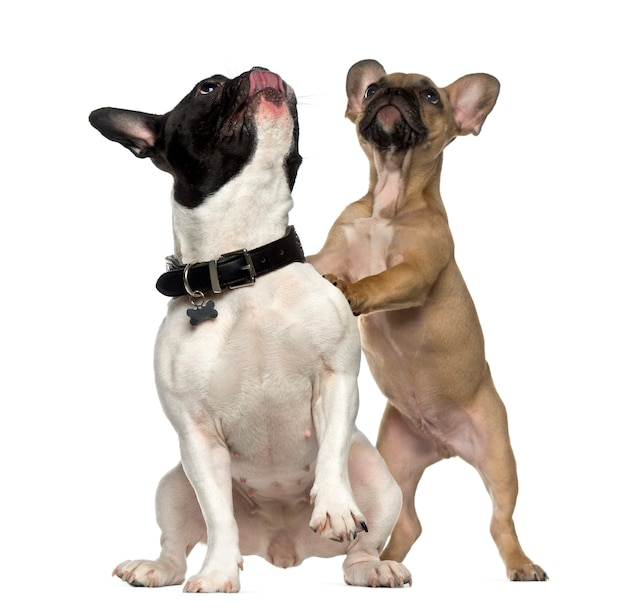 Two french bulldogs standing and looking up