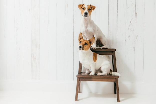 Two friendly pedigree dogs, sit on chair, isolated over white