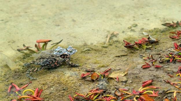 次の水生植物の浅瀬で交尾する2匹のカエル