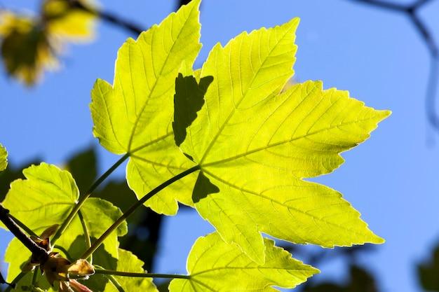 Две ярко освещенные кленовой листвой в весенний сезон