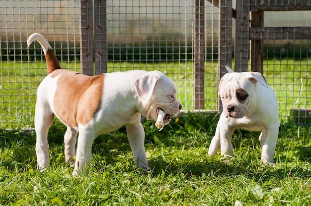 2匹の面白いアメリカンブルドッグの子犬が遊んでいます
