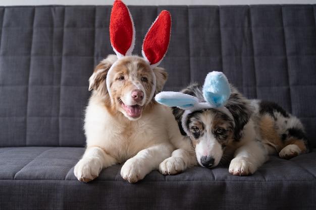 バニーの耳をかぶった2匹の面白いオーストラリアンシェパードのレッドマールの子犬犬。イースター。灰色のソファに横になっています。