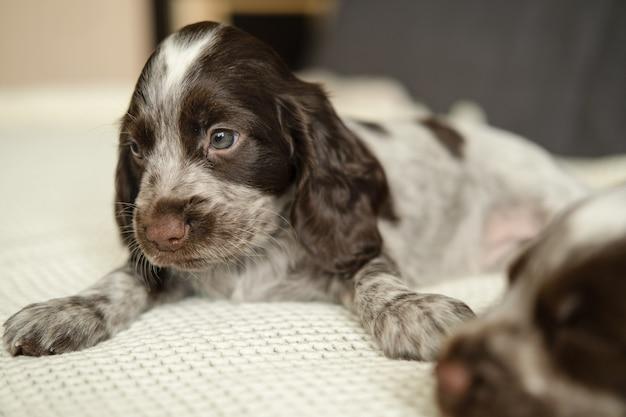 두 개의 재미있는 귀여운 러시아 발 바리 갈색 멀 파란 눈 강아지 소파에. 애완 동물 관리 및 친절한 개념. 아가.
