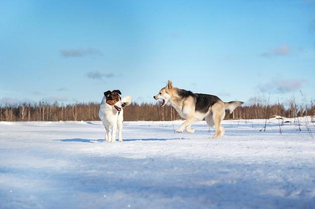 Две забавные собаки играют вместе на зимнем снежном поле, на открытом воздухе