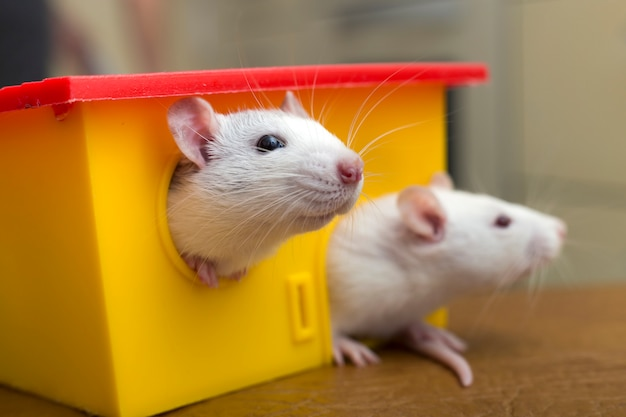 Две забавные домашние крысы и игрушечный домик.