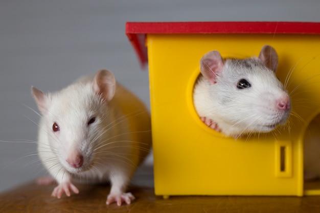 Две веселые домашние крысы и игрушечный домик.