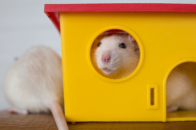 Two funny domestic pet rats and a toy house