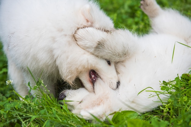 Two funny fluffy white samoyed puppies dogs are playing on the green grass