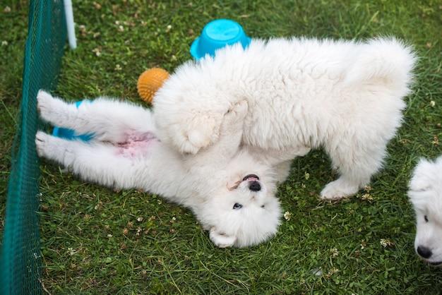 Играют две забавные пушистые белые самоедские щенки