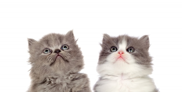 Two funny grey cats lookin up isolated on a white background