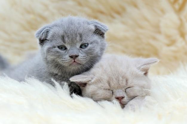 白い毛布の上の2つの面白い小さな灰色の子猫