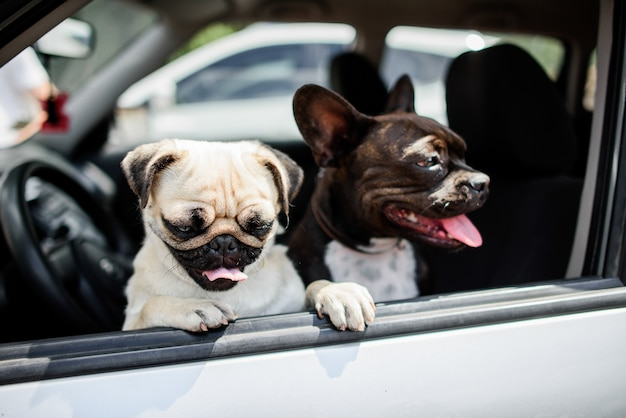 Two funny pugs sit on the chair in the car