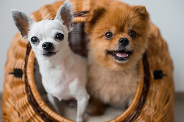Two funny puppies looking at camera from wicker dog house.