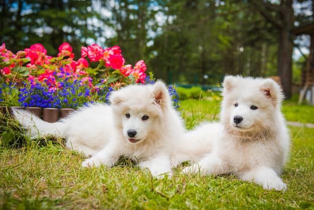 Две забавные щенки самоеда в саду на зеленой траве с цветами