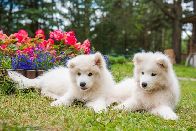 Две веселые щенки самоеда в саду на зеленой траве с цветами