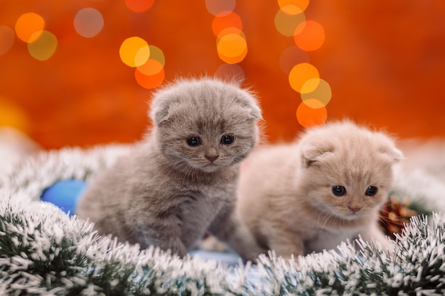 Two funny scottish kittens on the shiny background