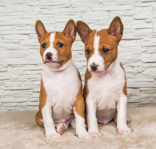 白い壁の背景に2つの面白い小さな赤ちゃんバセンジー子犬犬
