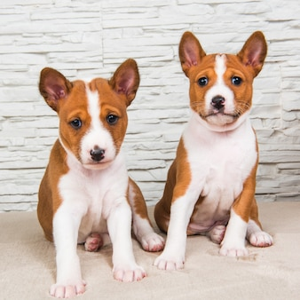Two funny small babies basenji puppies dogs on white wall background