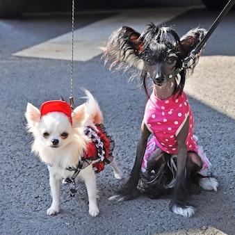 드레스, 치와와와 볏된 개에 두 재미있는 작은 개.