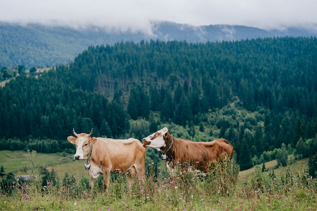 Two funny spotted cows playing on pasture in highland