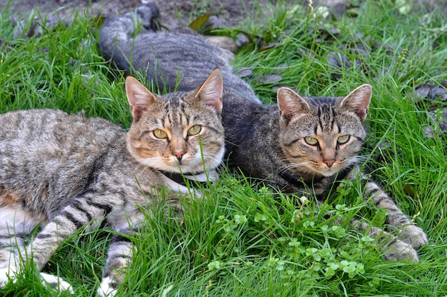 Two funny tabby cats lying on green grass