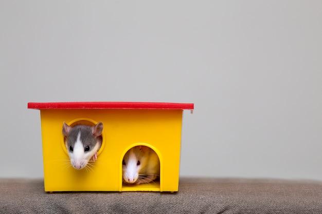 Два забавных белых и серых ручных любопытных мышонка хомяков с блестящими глазами смотрят из ярко-желтого окна клетки. держать домашних животных друзей дома, уход и любовь к животным концепции.