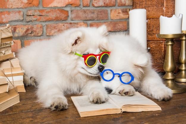 Две смешные белые пушистые щенки самоеда с книгой