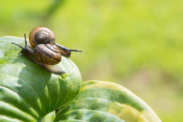 2つの庭のカタツムリが緑の葉の上を異なる方向に這う。