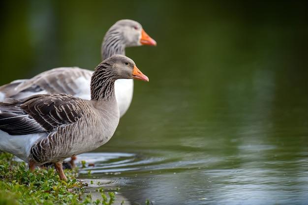 Два гуся на берегу реки весной
