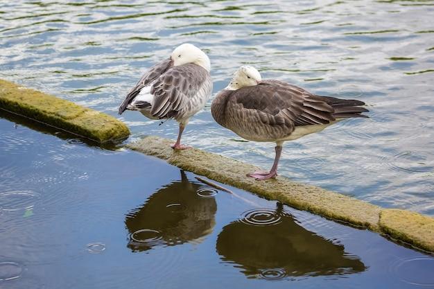 2羽のガチョウが片足で立ち、頭を翼の下に隠しています。