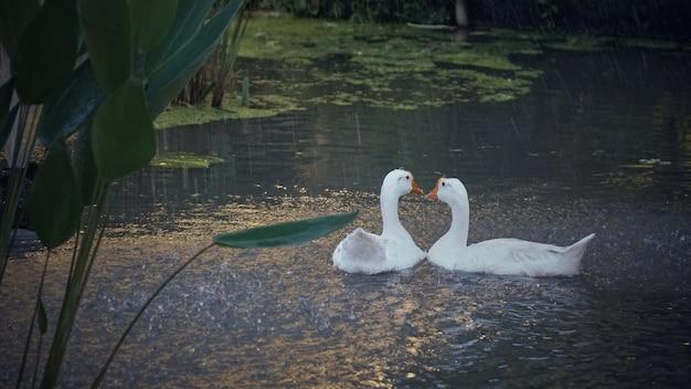 2頭のガチョウ、雨の間プールに2頭の白鳥