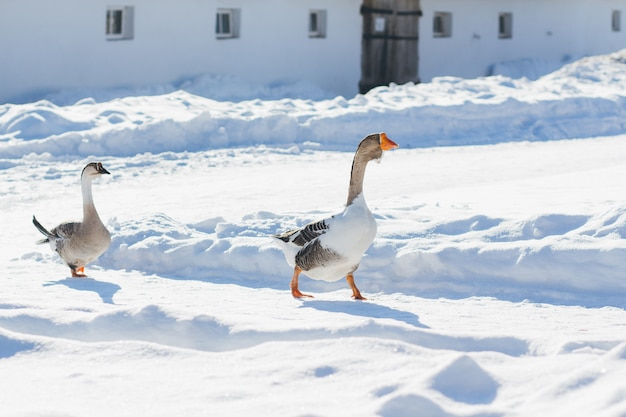 Two geese walking in the snow