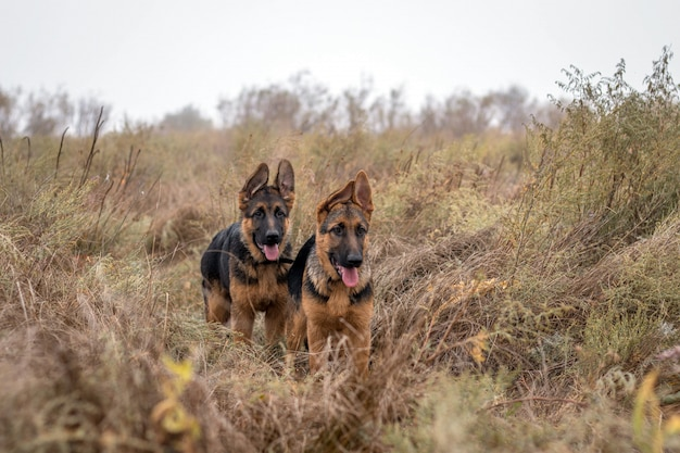 Two german shepherd puppies in high grass. domestic animal. purebreed dogs. cute home pet. autumn season.