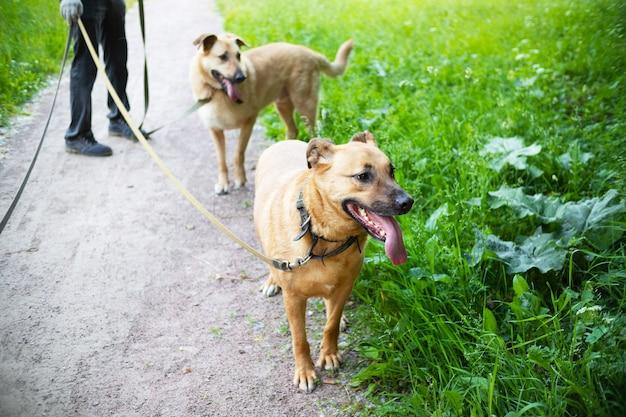 緑の芝生の横にあるひもにつないで歩いている2匹の生姜犬、背景に人間の足。
